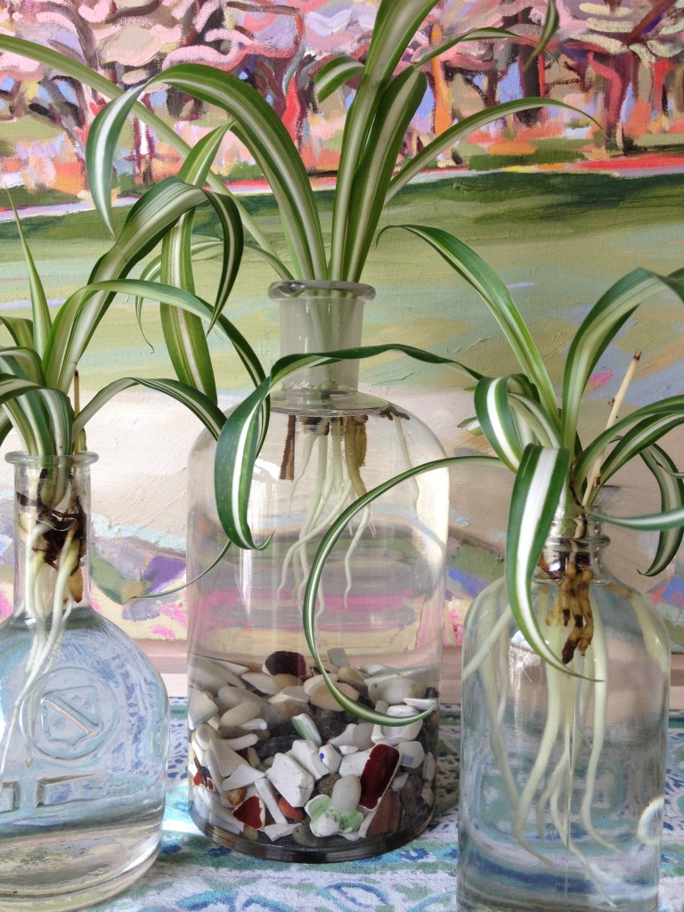 rooting spider plants